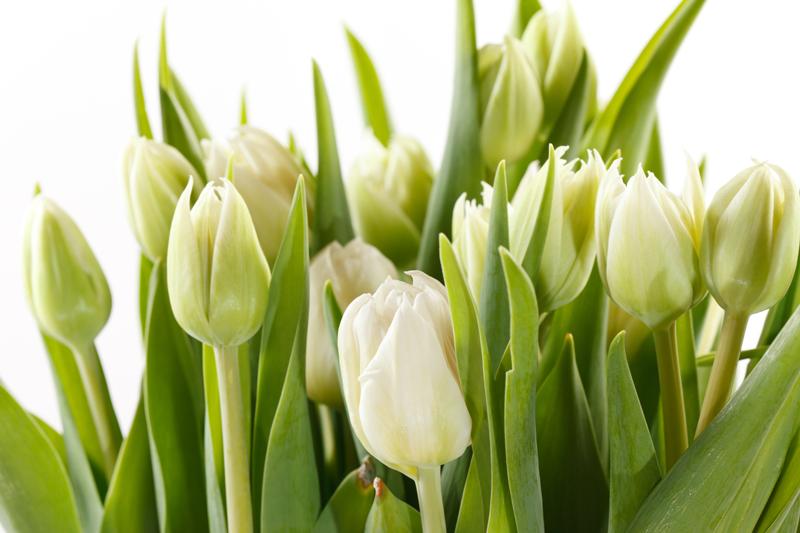 Фотообои зеленые тюльпаны